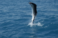 sailfish-125